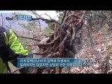'전설의 관절 명약' 골쇄보 [코리아헌터52회]