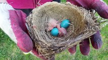 Newly Hatched Baby Birds