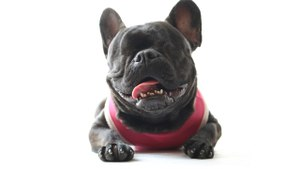 French Bulldog With No Eyes Loves Life: CUTE AS FLUFF