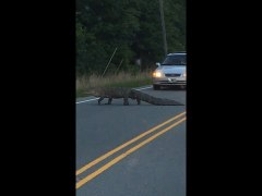 Why Did the Alligator Cross the Road To Disrupt Tr