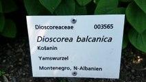 Dioscorea balcanica - Balkan-Yamswurzel - Montenegro, Albanien