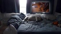 Ce bulldog squatte le lit de ses maîtres !