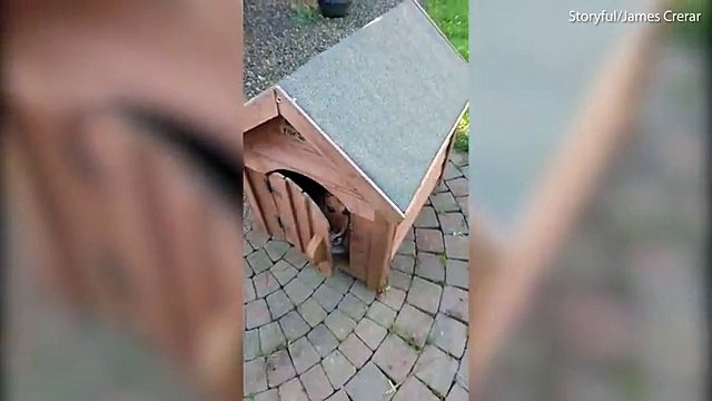 Little dog is VERY protective of his doghouse