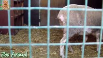 Sheep and lambs happy in his housedsfe on farm - Farm animals video for Kids -