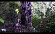 Primitive Technology Falling big tree in forest with Chainsaw Mi