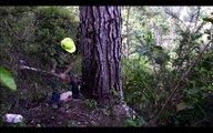 Primitive Technology Falling big tree in forest with Chainsaw