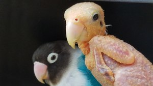 Bald Bird Is Smitten With Lovebird Beau: CUTE AS FLUFF