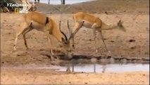 Wild Animal CROCODILE A FIERCE ATTACK deer Safari2 NEW@croos South Africa Lion vs Giraffe _ Wild Attack Animals_Man VS Donkey Best Wild Animal Lions