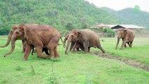 Un troupeau d'éléphants court pour voir le nouveau pensionnaire (Thaïlande)