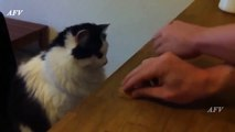 Funny, Clever Cats, Best Pets  Tricks, Cat & Dogs, Pet Animals Agility