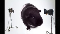 Interviewing Guinea Pigs _ Pets Palace Kids