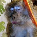 This monkey loves a good grooming. Her faces are hilarious