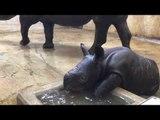 Saint Louis Zoo's Baby Rhino Takes First Bath