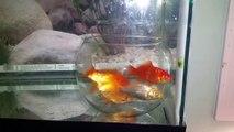 Expérience - Des poissons rouges dans un bocal dans un aquarium