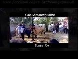 5 lacs Cow qurbani - cow qurbani - bakra eid 2016 - qurbani video