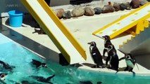 118.FUNNY PENGUINS ★ BEST Funny & Clumsy Penguins [Funny Pets]