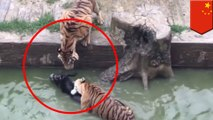 Live donkey fed to tigers in cruel protest at Chinese zoo