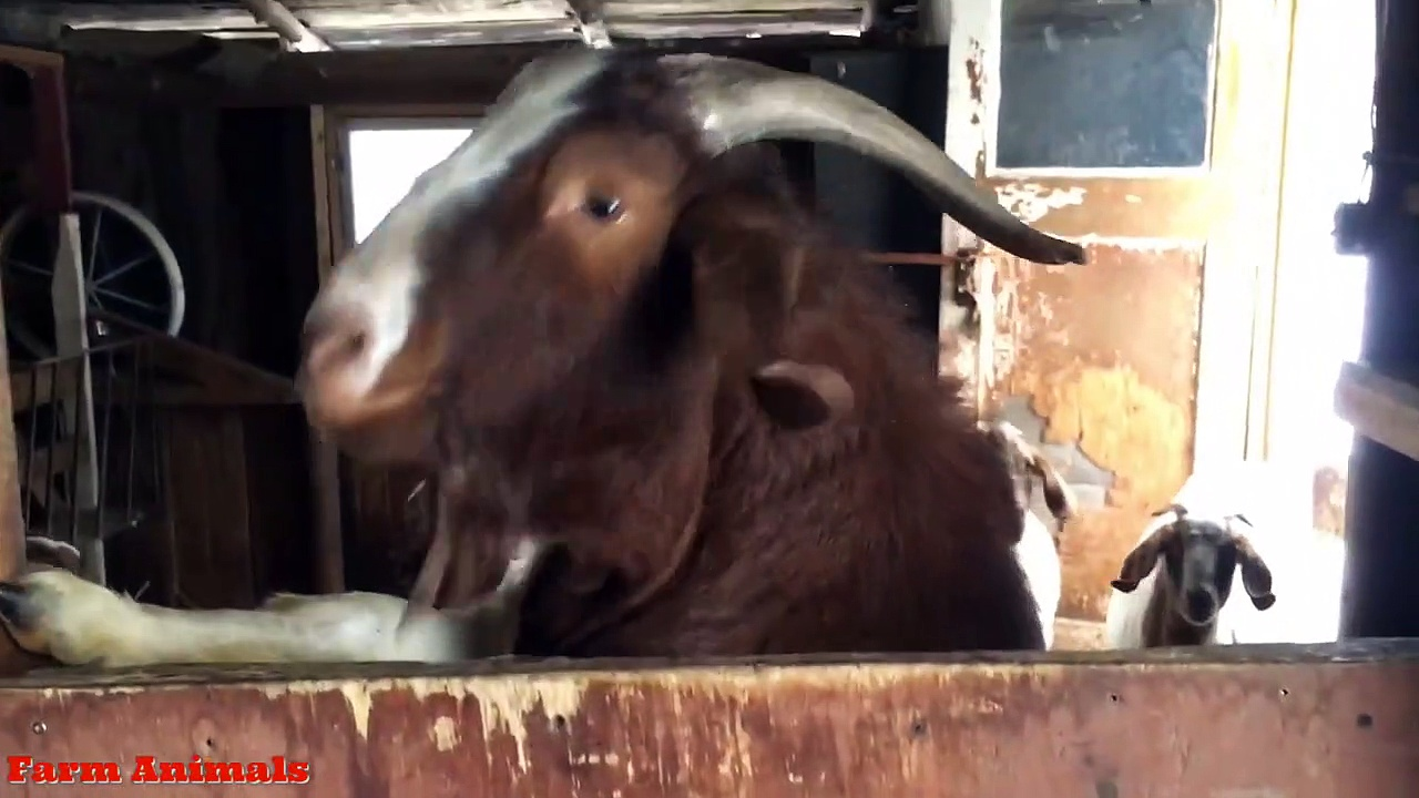 Funny Screaming Goat Ollie –  ling Goats Video