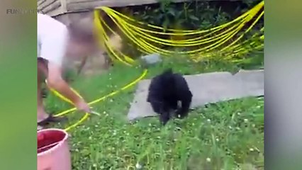 45.Cute Bear Cubs  Funny Baby Bears Playing [Funny Pets]