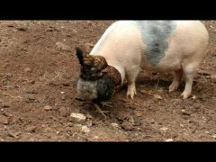 Why Did the Chicken Cross the Road To Help This Pig Dig for