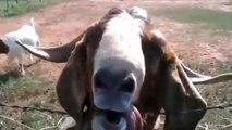 Çok komik hayvanlar derlemesi komik anlar izleyin