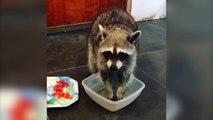 Un raton laveur lave ses fruits avant de les manger !