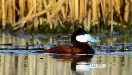 An Original DUCKumentary (PBS Nature Documentary)