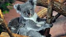 All About Koalas for Kids - Koalas for Children - F