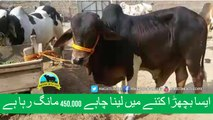 388 || Cow Qurbani for eiduladha || Bakra eid in Pakistan || Cow Mandi || Karachi Sohrab Goth