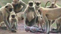 Des singes font le deuil... d'un singe JOUET !