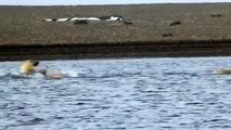 La nage des ours blancs