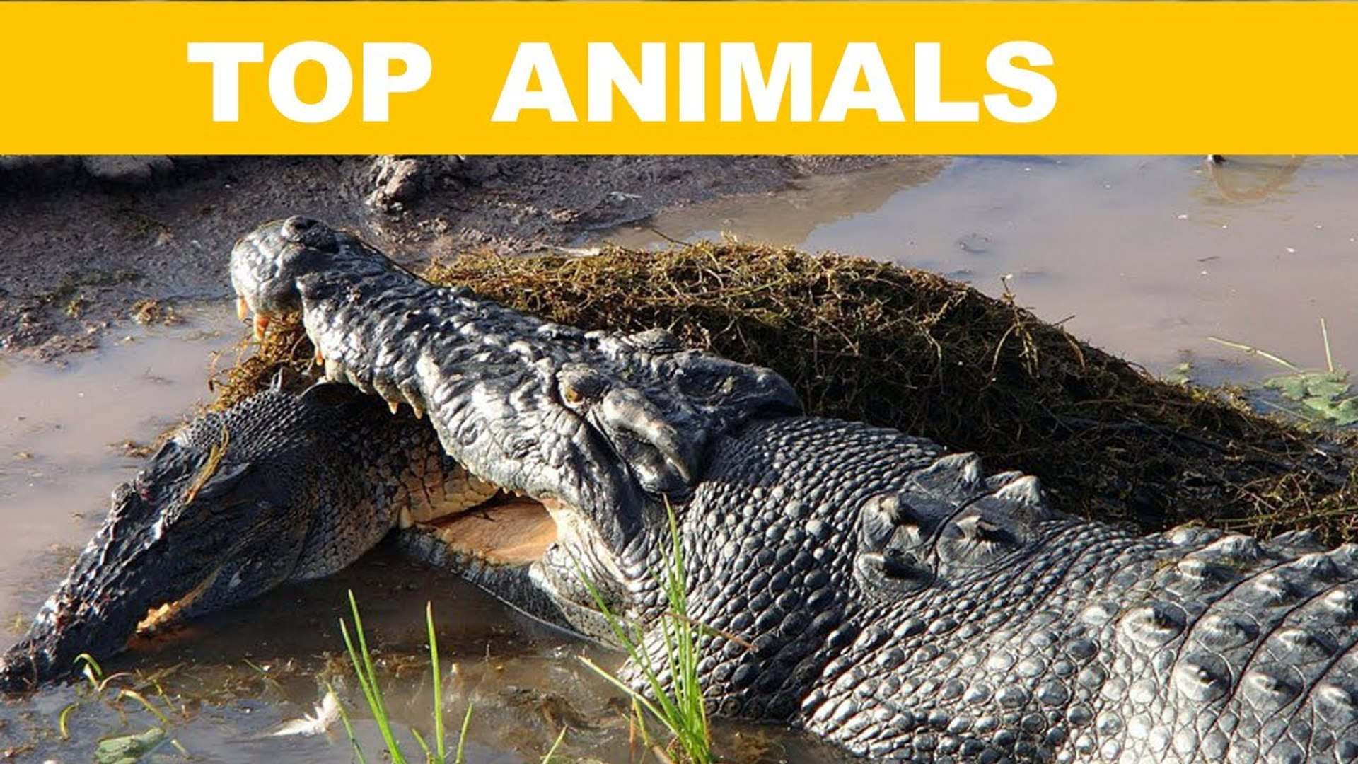 TOP 10 Động Vật Nguy Hiểm Nhất Hành Tinh   Top Animal