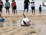 USA - Sauvetage d'un requin blanc échoué sur une plage