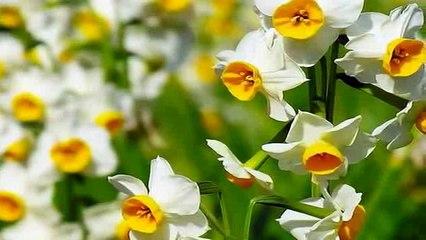 14//16 cm Bulbs /… Dutch Master Daffodil 50 Bulbs Deer /& Rodent Resistant
