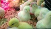Bébés Animaux Trop Mignons - Canetons et Poussins