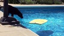 Un chien utilise une planche de body board pour récupérer une balle dans la piscine !