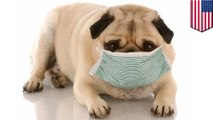 Flu anjing menular kini telah menyebar - Tomonews