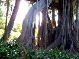 ¡¡ Ficus gigante-Ficus giant !!