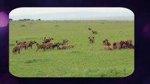 Hyena Attack Lion - Lion Kills Hyena Most Amazing Wild Animal Attacks Videos
