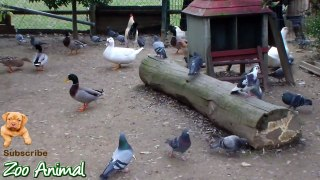 Real Duck Chickens Goose Pigeon Swan in farm anima