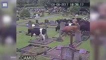 Cows escape