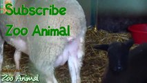 Sheep and lambs happy in his house on farm - Farm animals video for Ki