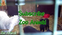 Sheep and lambs happy in his house on farm - Farm animals video
