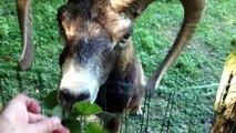 Mouflon rigolo qui se met debout sur les pattes arrière pour attraper des feuilles