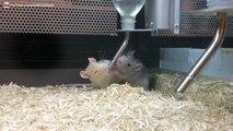 Rats domestiques avec une très grosse soif