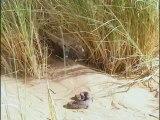 Animaux du désert   La vie dans les vagues de sables [VDownloader]