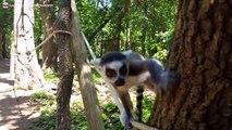 Trop drôle - un jeune Lémurien qui joue à cache-cache avec moi !