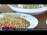 High quality Japanese rice is grown in Myanmar
