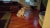 Conozca a Sassy el perro que le gusta ser el centro de atención