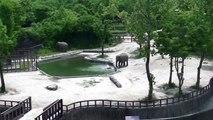 Deux éléphants font tout pour sauver leur petit de la noyade !